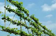 pleached limes - Google Search
