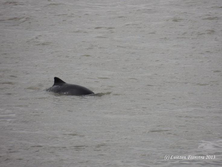 Bruinvissen in de Waddenzee. Haven van Harlingen.
