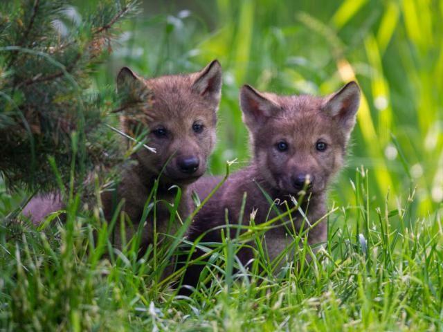 Die Besten 17 Ideen Zu Wolfswelpen Auf Pinterest Baby