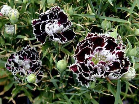 Telstar F1 – довольно редкие кусты высотой до 30 см, обильноцветущие. В этой цветочной серии представлено 7 сортов великолепных расцветок, в том числе – белоокаймленных.Сажаем сад