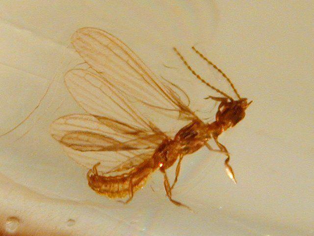 Flying Termite (Alate) in Amber