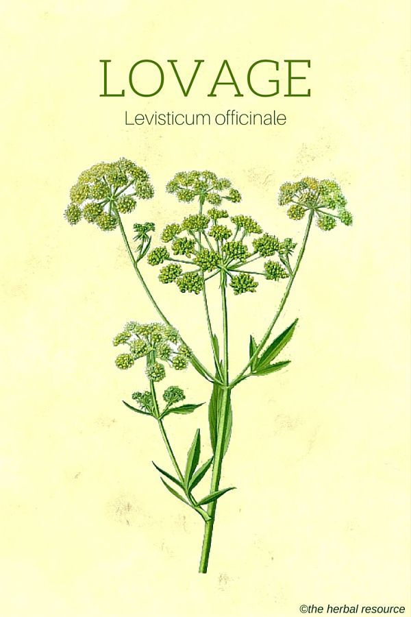 Lovage Herb Uses, Side Effects and Benefits
