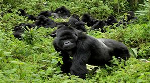 African Crane Safaris specializes in gorilla tours Rwanda to quench your thirst for adventure. We take care of all the fine details leaving you to enjoy this unique and fulfilling holidaying experience