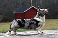 """El Corgi galés de Cardigan (Cardigan Welsh corgi) es una de las dos razas separadas de """"Corgis"""" originarios de Gales, la otra es el Corgi galés de Pembroke. Se trata de una de las razas de perro pastor más antiguas que existen."""