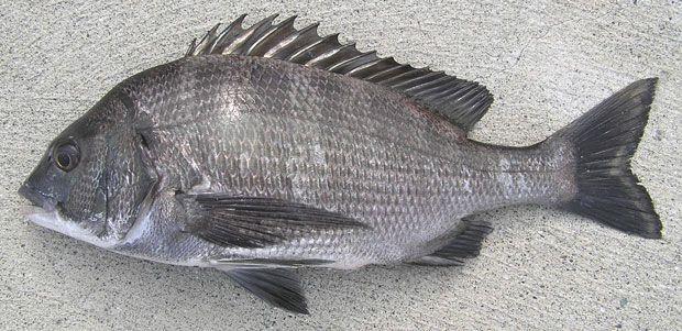 クロダイ - Acanthopagrus schlegelii (Bleeker, 1854)。体色は黒っぽい燻し銀。側線より上の背鰭棘条部中央下の横列鱗数は5.5枚以上で、側線鱗数は48~57枚とされる。若魚までは体側に数...