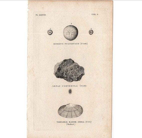1812 SHELL PRINT original antique sea shore ocean engraving - echinus pulvinulus, lepas convenula & razor shells