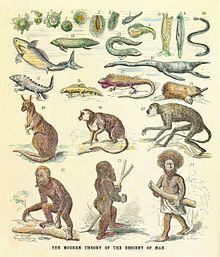 Tiktaalik BW - Transitional fossil - Wikipedia, the free encyclopedia
