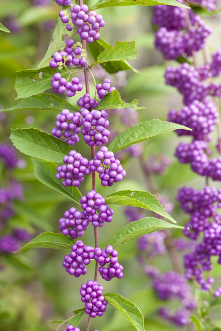 Shrubs with purple flowers pictures - Best 25 Purple Flowering Bush Ideas On Pinterest Purple Garden Purple Ground Cover And Ground Covers For Sun