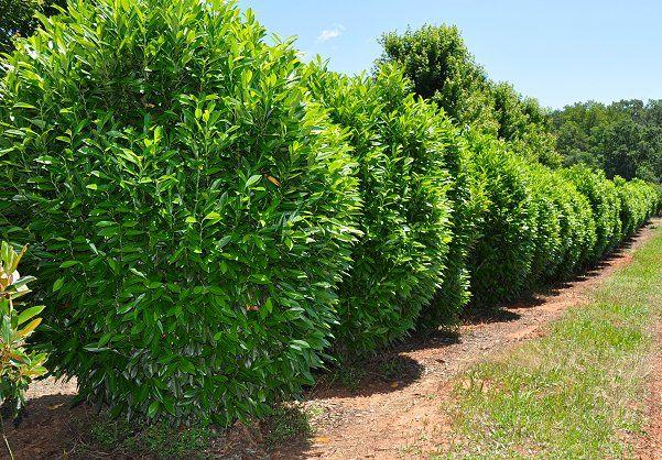 ' West Coast ' Schip Laurel - Prunus laurocerasus ' West Coast Schipkaensis '