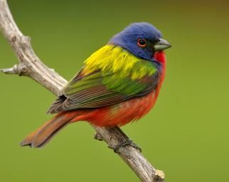 Painted Bunting - Whatbird.com || Copyright © Jeff Wendorff