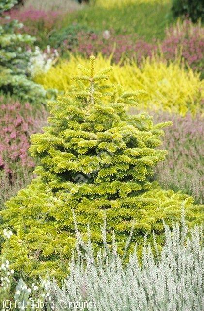 jodła kaukaska 'Golden Spreader' - Abies nordmanniana 'Golden Spreader' | Katalog roślin - e-katalog roślin