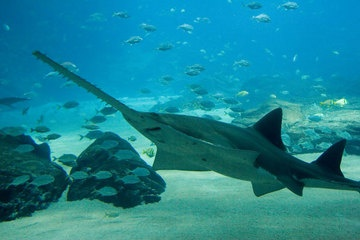 Observations of a species of freshwater sawfish showed it used its elongated snout to detect prey and swipe at it.