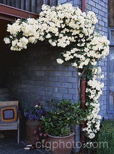 rosa banksiae The white variety is fragrant, and this plant is virtually thornless.