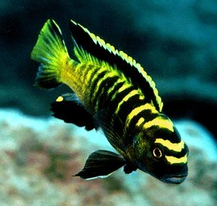 Pseudotropheus flavus  http://www.aquabase.org/fish/view.php3?id=1324
