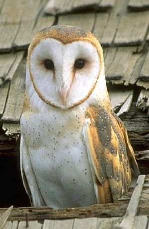 """This has to be one of the wisest looking animals I've ever seen. If he could talk, I bet he'd say: """"Do not go where the path may lead, go instead where there is no path and leave a trail."""" This owl's name is Ralph Waldo Emerson. So he's sort of a big deal."""