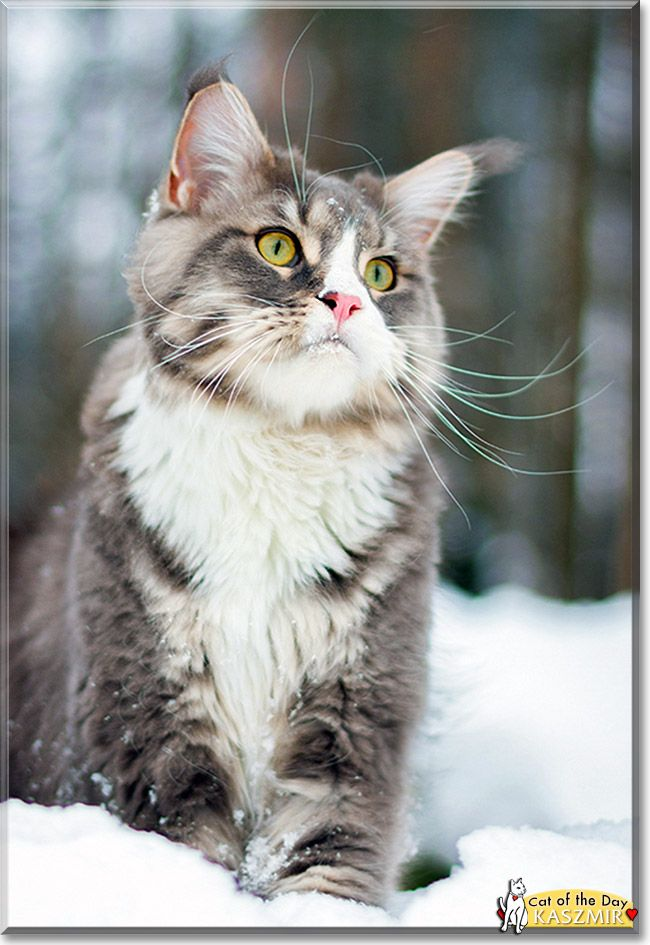 Read Kaszmir the Maine Coon Cat's story from Gdynia, Poland and see his photos at Cat of the Day http://CatoftheDay.com/archive/2013/February/05.html .