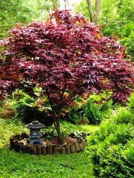 Buy Red Dragon Japanese Maple Online. Arrive Alive Guarantee. Free Shipping On…