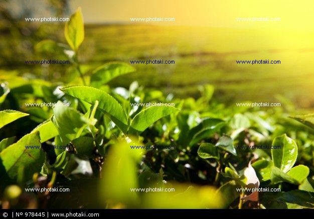 http://www.photaki.com/picture-tea-plantation_978445.htm