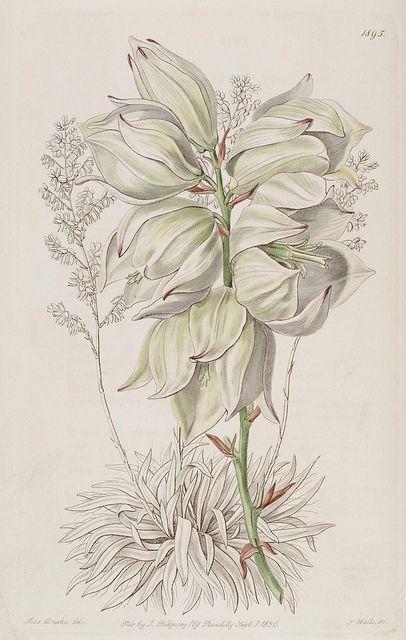 3074 best images about botany ornithology antique for Botanical tattoo london