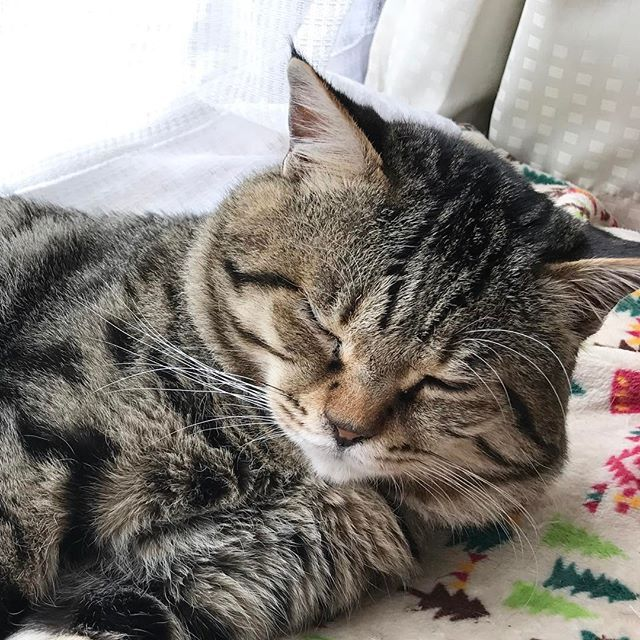 猫になりたい( ^ω^ )見ていると…眠くなる😪 #猫#ねこ#猫部#保護猫#愛猫#ペット#ボス猫#キジトラ#猫白血病キャリア#猫エイズキャリア#かわいい#長生きしてね