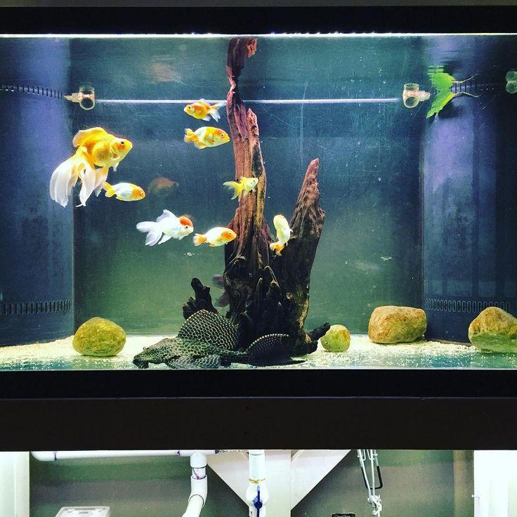 Repost of my 150 gallon #goldfish #gdfishunion #gold #goldfishjunkie #ranchu #oranda #pearlscale #fantail #blackmoor #telescopegoldfish #150 #gallon #fishtank #fish #tank #wetpet