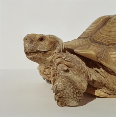 How to care for a Sulcata Tortoise