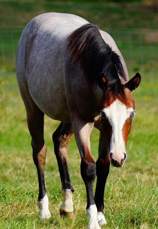 1000+ images about Horse Color Galore: Roan on Pinterest ... | 553 x 800 jpeg 78kB