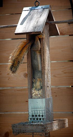 Genius Squirrel.