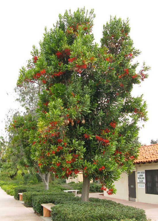 FIREWHEEL TREE Stenocarpus Sinuatus | Evergreen Foliage | Max Ht 35 |  Http://