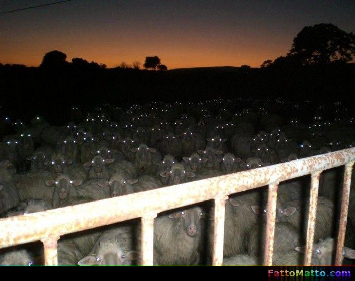 Non credo dormirò contando le pecore - via FattoMatto.com