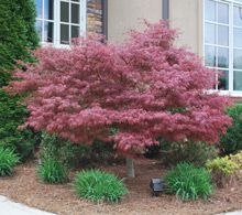 Remarkable New Eye-Popping Attraction  -  Basic run-of-the-mill crimson trees had better watch out because there's a new Maple on the scene, and it's soon to be setting the standard by which all red split-leafs will be judged.  The Red Dragon Japanese Maple is a newly introduced cultivar from New Zealand, and it's...