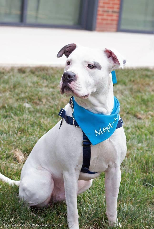 Adopt Epi On Pitbull Terrier Adoption Handsome Boys