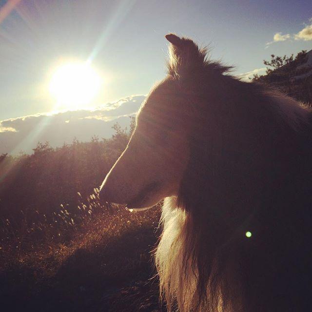 #dogphotography#doglover#dog#love#dogphoto#sun#犬#愛犬#ラフコリー#roughcollie#ろみた#自然#田舎#散歩