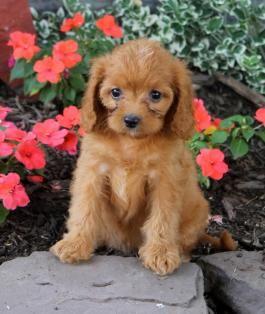 Cavapoo Puppies for Sale | Lancaster Puppies