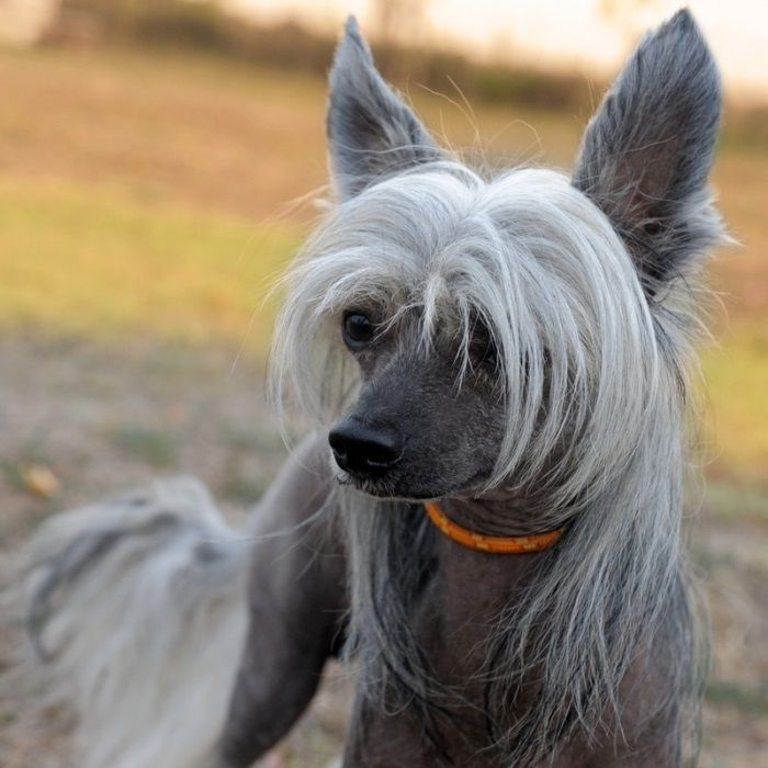 Dealing With A Chinese Crested That Doesn T Come When You Call It