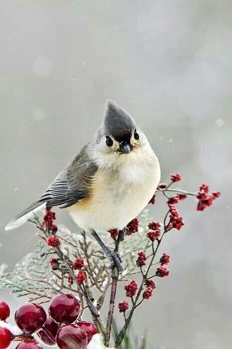 Snowbird ~ Tufted Titmouse