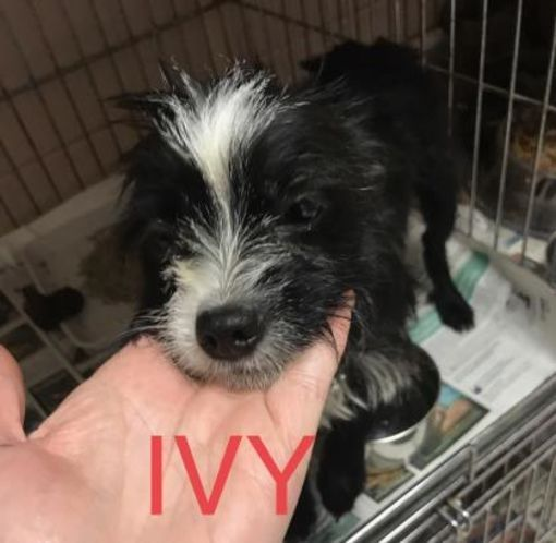 Pictures of Ivy a Yorkie, Yorkshire Terrier for adoption in Fairfax Station, VA who needs a loving home.
