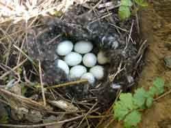 duck eggs/ eendeneieren
