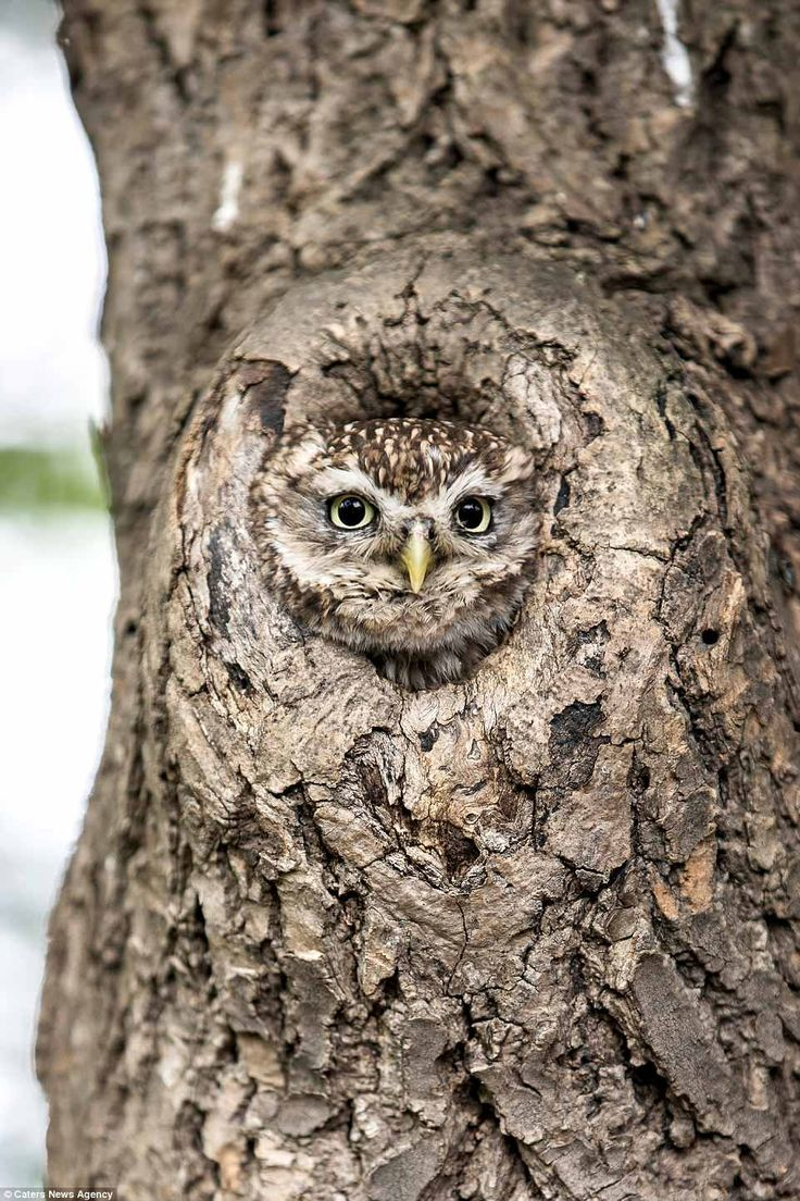 Photographer captures owl hiding inside a tree