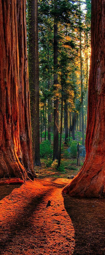 Redwood Forest California > Sequoia National Park. Beautiful trees . . . nature in all her glory!