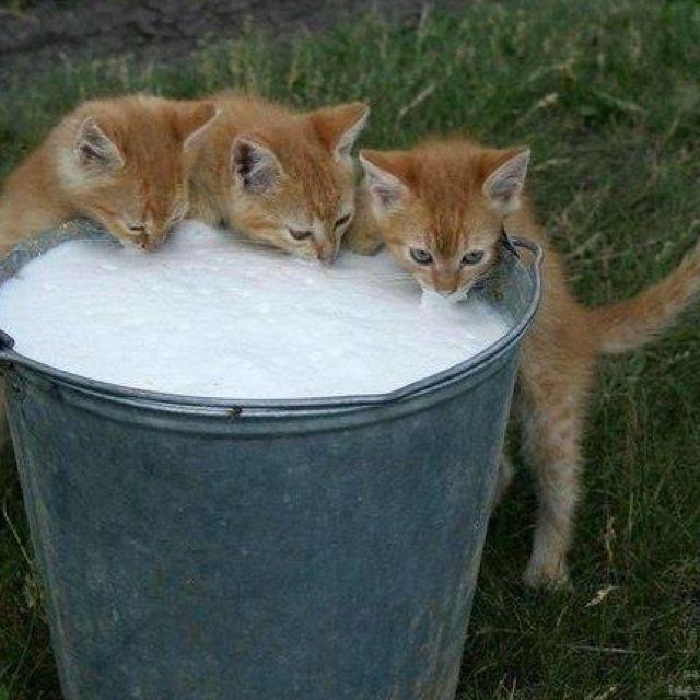 Le bon lait de vache !
