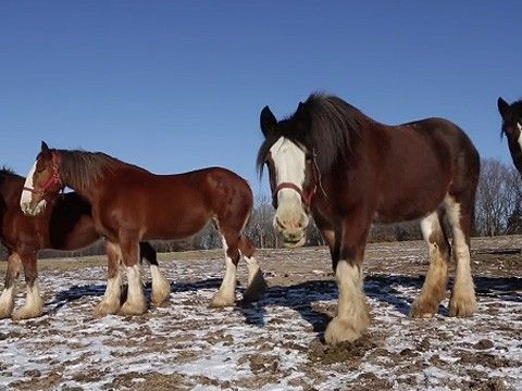 8 best budweiser clydesdales images on pinterest