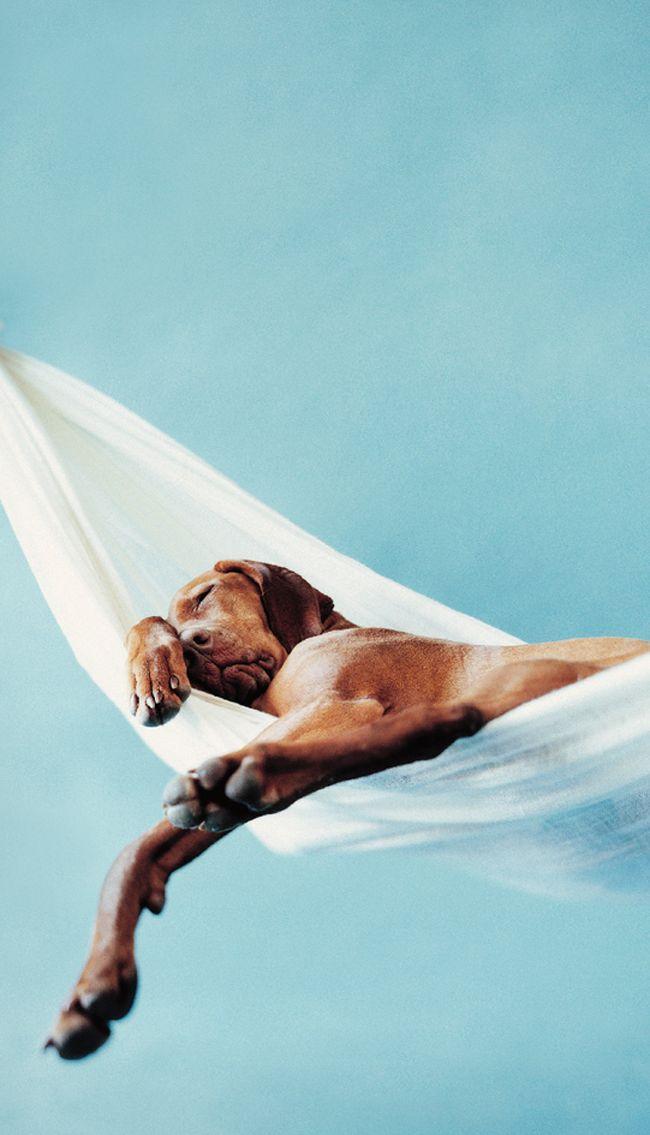 Schlafender Hund Kunstdruck mit blauem Hintergrund