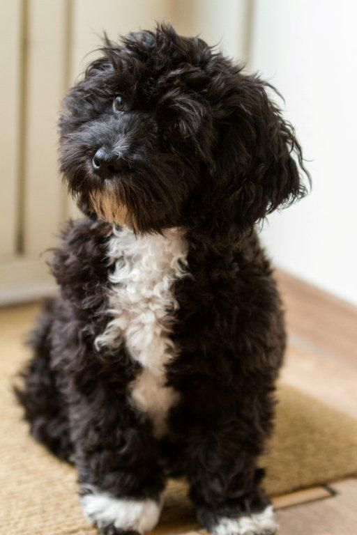 #maltipoo #dogs #cute This looks exactly like my baby!