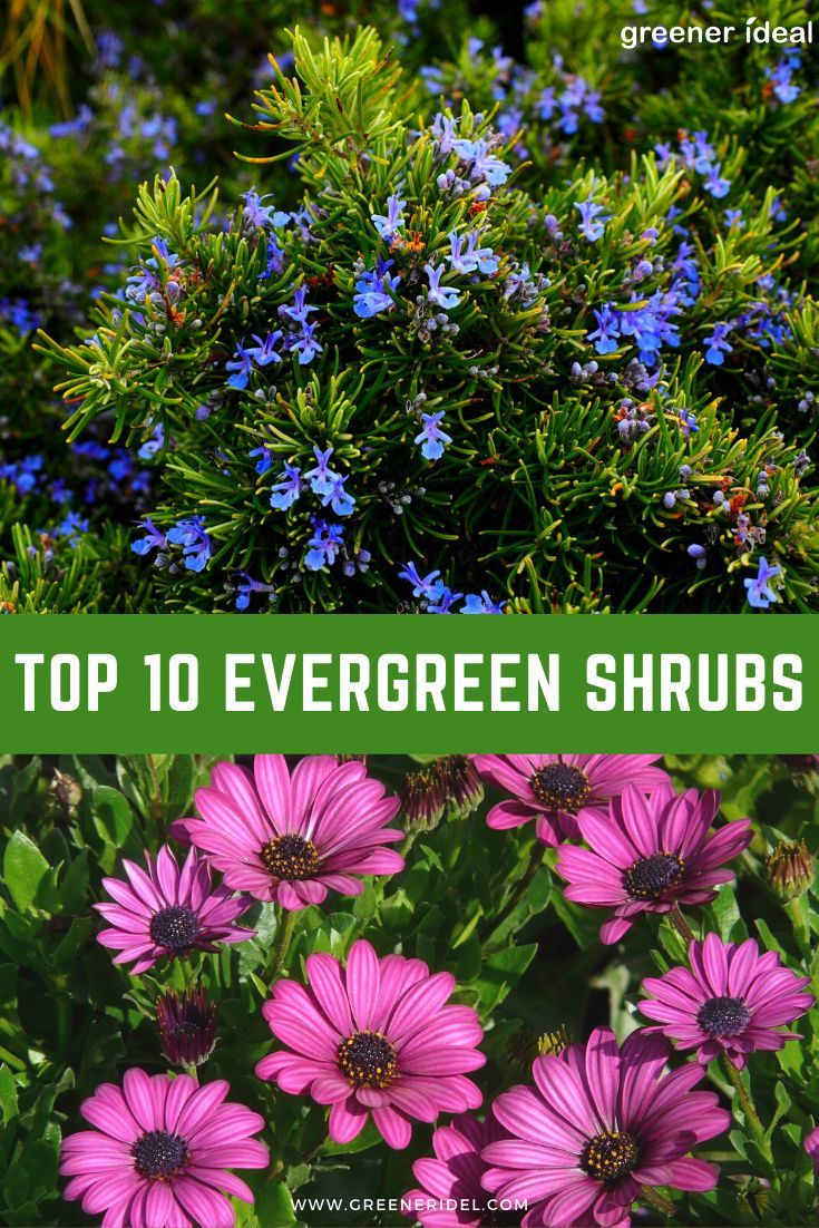 Top 10 Evergreen Shrubs Infographic Evergreen Shrubs