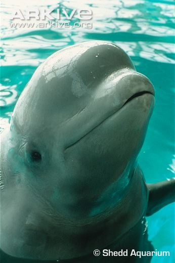 ARKive - Beluga whale videos, photos and facts.