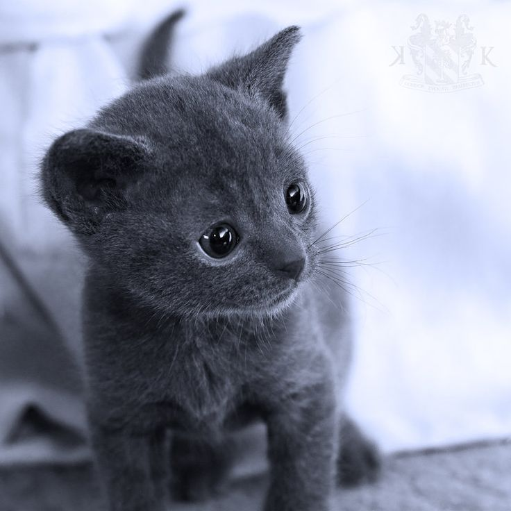 17 Best ideas about Korat Cat on Pinterest | Russian blue ...