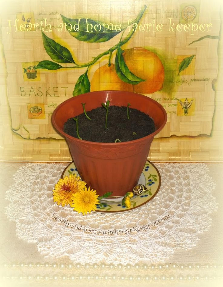 Хранительница магии домашнего очага: Тропический рай в домашних условиях: выращиваем лимон из косточки