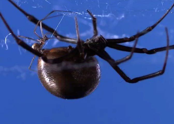 spider sexual dimorphism