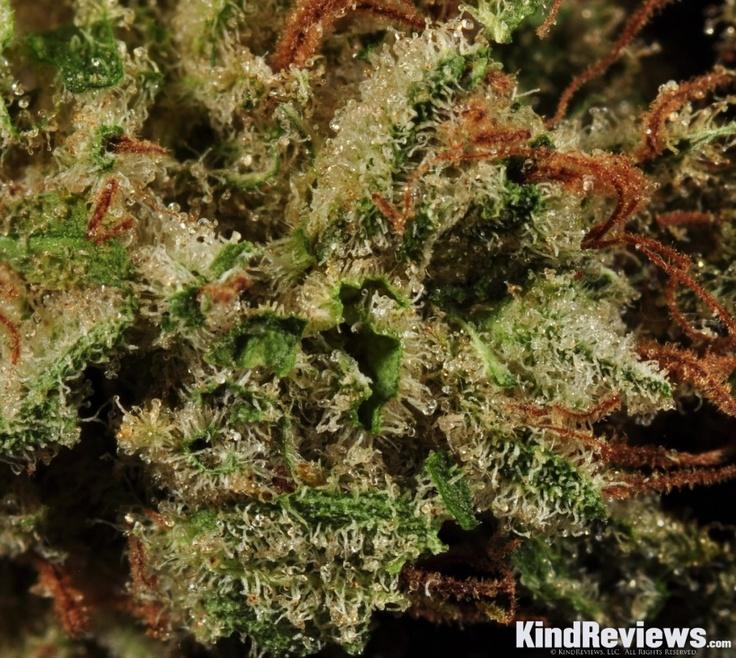 Diesel Berry The best seeds# http://www.spliffseeds.nl/silver-line/blue-berry-seeds.html